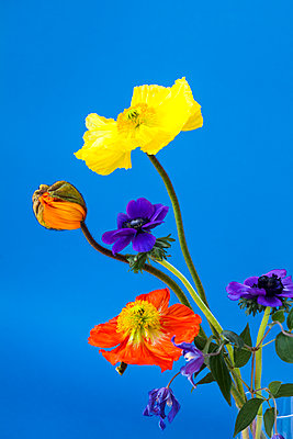 Colorful flowers on blue background - p312m2078909 by Marie Linnér