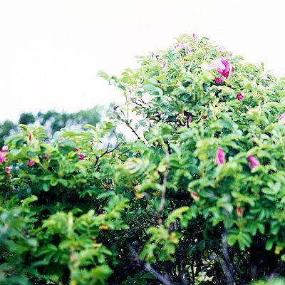 Wildrosenbusch - p989m741674 von Gine Seitz
