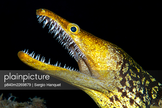 Fangtooth moray (Enchelycore anatina) with open mouth, portrait. Tenerife, Canary Islands. - p840m2269879 by Sergio Hanquet