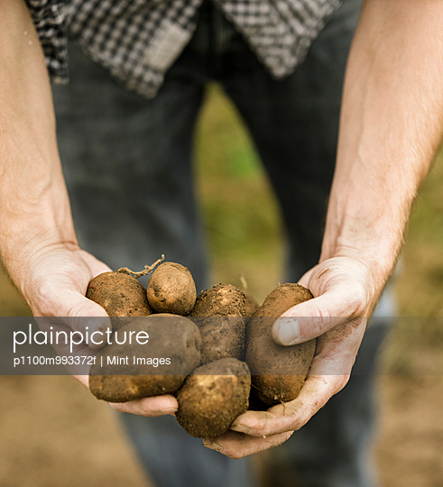 Man holding a handful of freshly picked potatoes in his hands. - p1100m993372f by Mint Images