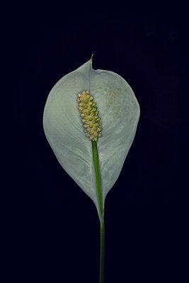 Peace lily (Spathiphyllum genus) - p1028m1041047 by Jean Marmeisse