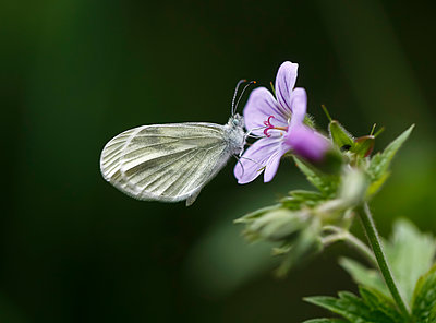 Wood White butterfly on a wild geranium - p1251m1091406 by Heikki Tabell