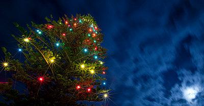 Christmas lights on cook pine tree at Parker School; Waimea (Kamuela), Island of Hawaii, Hawaii, United States of America - p442m935186 by Charmian Vistaunet photography