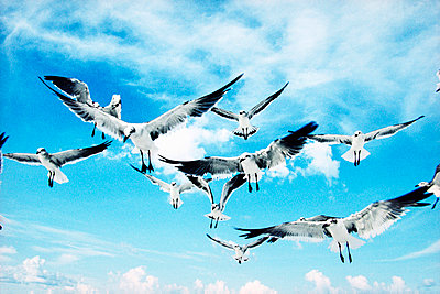 sea gulls in flight - p6942453 by Pete Zwally