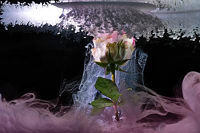 Frozen rose - p851m2077225 by Lohfink