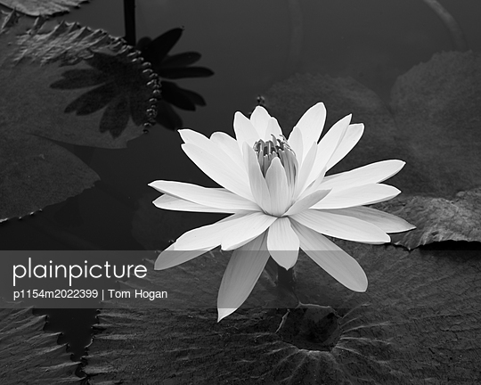 Water Lily Number 1 - p1154m2022399 by Tom Hogan