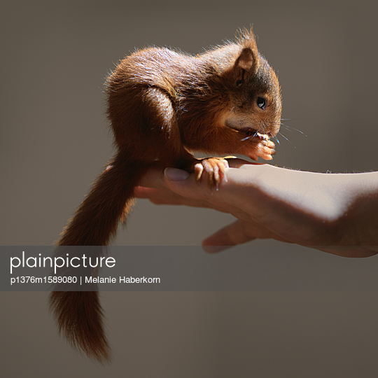 Zahmes junges Eichhörnchen - p1376m1589080 von Melanie Haberkorn