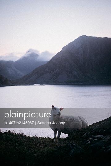 Schaf auf Wiese am Meer und vor Gebirge auf den Lofoten in Norwegen - p1497m2145067 von Sascha Jacoby