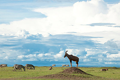 Antelope on a hill - p5330405 by Böhm Monika
