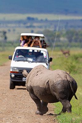Rare Black Rhinoceros or Hook-lipped Rhinoceros (Diceros bicornis) posing for a van of tourists just after bathing in watering hole at serengeti plains; Kenya - p442m961581 by Richard Wear