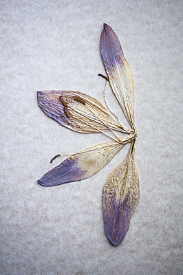 Pressed tulip flower - p971m2045462 by Reilika Landen