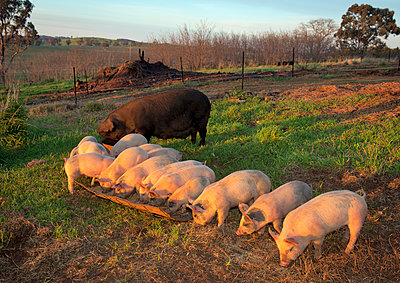 Sow and pigs feeding at trough at sunrise - p1125m2073238 by jonlove