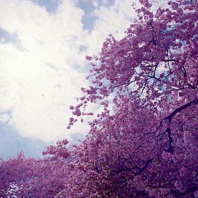 Kirschbaum in voller Blüte - p1180m1193410 von chillagano