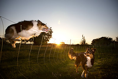 Two Border Collies playing together - p1207m1109485 by Michael Heissner