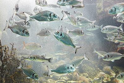 Fische im Aquarium - p415m822885 von Tanja Luther