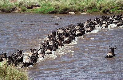 Wildebeest - p6520439 by Susanna Wyatt