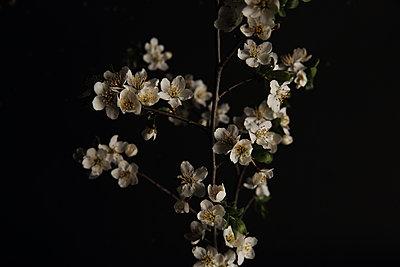 Blossoms - p1054m2278021 by Maria Kazvan