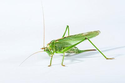 Grasshopper - p1437m2057085 by Achim Bunz