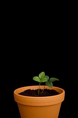 Erdbeerpflanze im Dunkeln - p4540379 von Lubitz + Dorner
