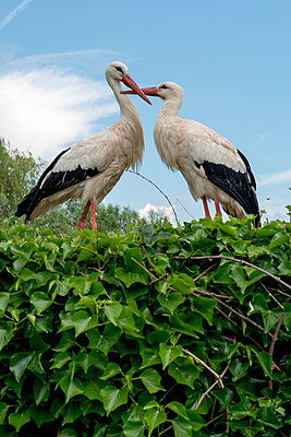 Stork nest - p451m1149681 by Anja Weber-Decker