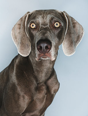 Close-up of Weimaraner against white background - p1166m2024720 by Cavan Images