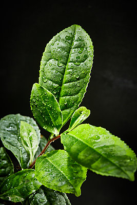 Tea plant - p851m2073193 by Lohfink