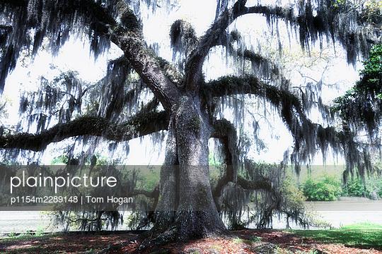 USA, Spanish moss hanging on oak  - p1154m2289148 by Tom Hogan