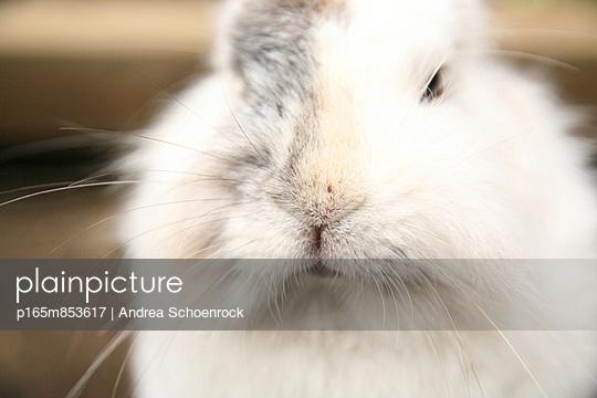 Löwenkopfkaninchen - p165m853617 von Andrea Schoenrock