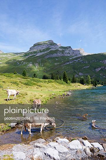 Kühe an einem Bergsee - p606m2015654 von Iris Friedrich
