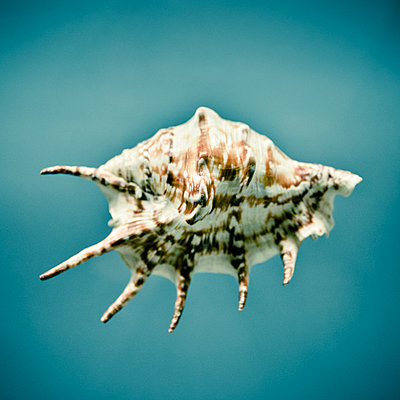 Conch Shell - p1072m2164588 by Neville Mountford-Hoare