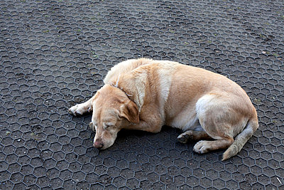 Dog dozing on floor - p388m701588 by Ulrike Leyens