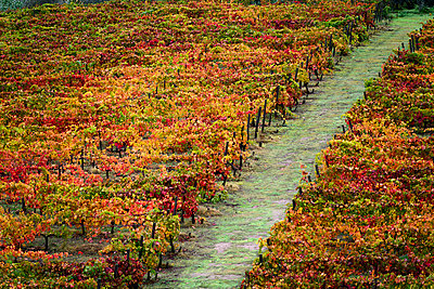 Colourful foliage on vines in a vineyard, Douro Valley; Portugal - p442m2111492 by Keith Levit