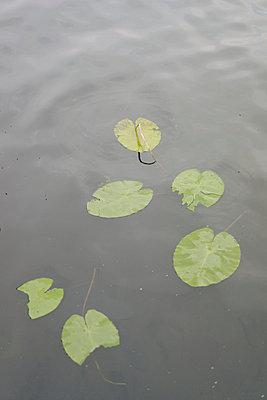 Blätter der Seerose treiben auf dem Wasser - p586m1055893 von Kniel Synnatzschke