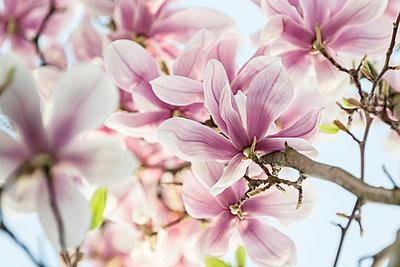 Magnolienblüte - p1437m1502371 von Achim Bunz