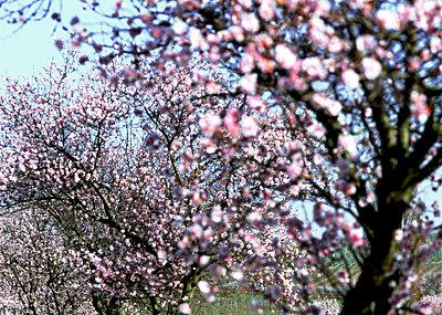 Blooming almond trees, Wine Street - p2681572 by Rudi Sebastian