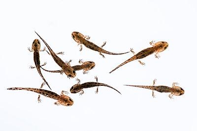 Fire salamander, larvae, Salamandra salamandra - p1437m2057008 by Achim Bunz