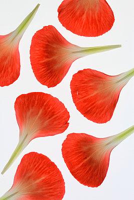 Blütenblätter  - p450m1042336 von Hanka Steidle