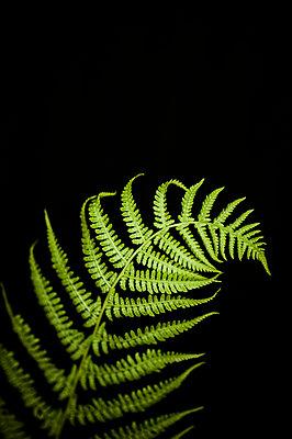 Fern - p971m1039131 by Reilika Landen