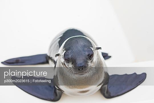 Namibia, Walvis Bay, portrait of cape fur seal on boat - p300m2023615 von Fotofeeling