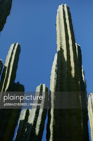 Cacti against blue sky, Gran Canaria - p556m2183803 by Wehner