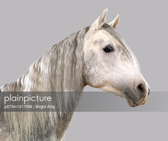 Pferdeportrait - p573m1217399 von Birgid Allig