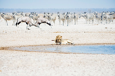 Namibia, Etosha National Park, lion resting at waterhole with herd of Zebras and Oryx in the background - p300m1450277 by Gemma Ferrando