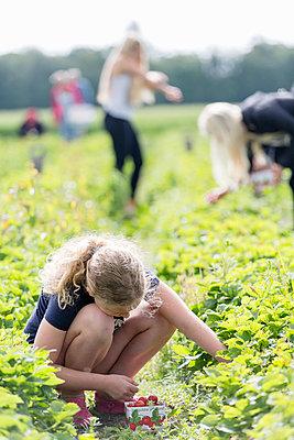 Girl picking strawberries - p312m993044f by Ulf Huett Nilsson