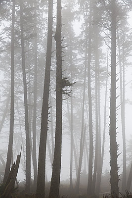 Forest in the fog, Oregon, USA - p756m2053405 by Bénédicte Lassalle