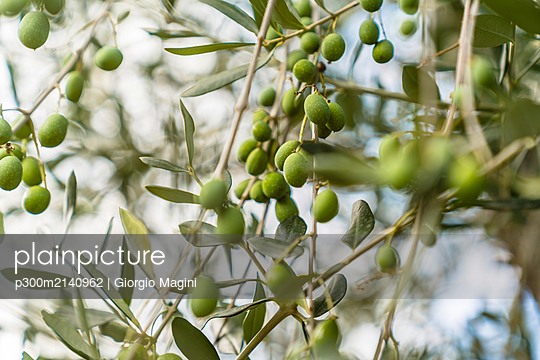 Green olives on tree - p300m2140962 by Giorgio Magini