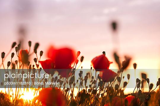 Mohnblumen im Sonnenuntergang - p533m1182310 von Böhm Monika
