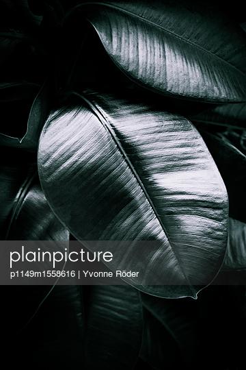 Rubber plant - p1149m1558616 by Yvonne Röder