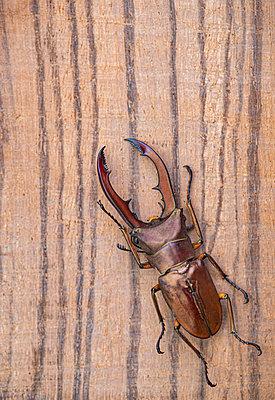 Stag beetle - p971m2263952 by Reilika Landen