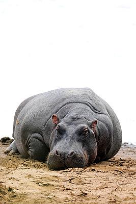 Hippo - p533m982485 by Böhm Monika