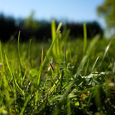 Grashopper in grass - p8130269 by B.Jaubert